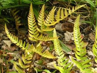 Dryopteris sordidipes
